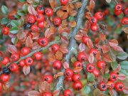 Owoce irgi